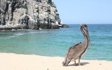 скалы, море, песок, пляж, побережье, птица, клюв, пеликан