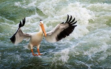 вода, волны, крылья, птица, клюв, перья, пеликан