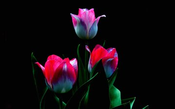 flowers, buds, petals, black background, tulips