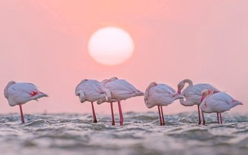 water, the sun, flamingo, africa, birds, namibia