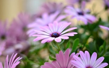 цветы, лепестки, остеоспермум