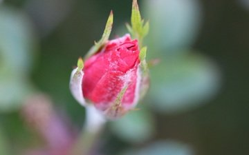 flowering, flower, rose, blur, bud