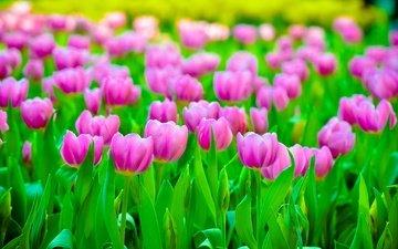 flowers, field, petals, blur, tulips, pink