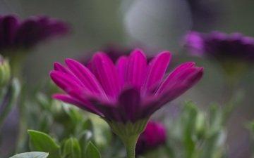 flowers, petals, blur, osteospermum