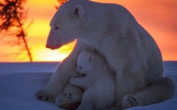 снег, закат, медведи, белый медведь, медвежонок, медведица