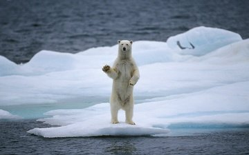 water, bear, polar bear, floe