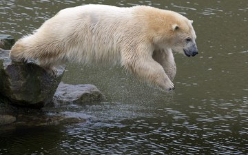 water, stones, bear, jump, animal, polar bear