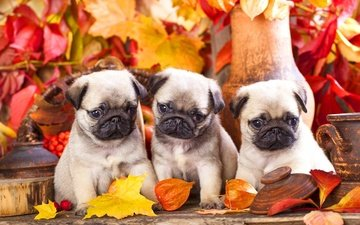 leaves, muzzle, look, autumn, puppies, dogs, pug