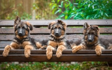 look, bench, puppies, dogs, faces, german shepherd, shepherd