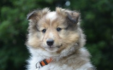 muzzle, look, dog, puppy, collar, sheltie, jaclou-dl