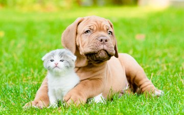 grass, cat, muzzle, look, dog, puppy, friends, dogue de bordeaux