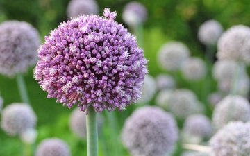 flowers, blur, inflorescence, decorative bow, allium
