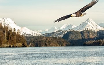 mountains, snow, nature, sea, bay, bird, alaska, bald eagle