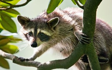 branch, muzzle, look, raccoon