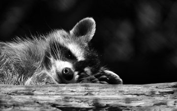 muzzle, look, black and white, raccoon