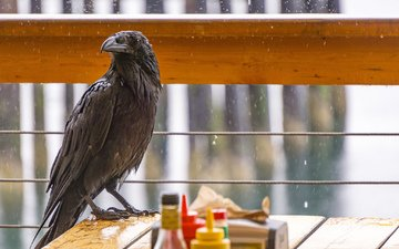 bird, beak, rain, feathers, raven, crow