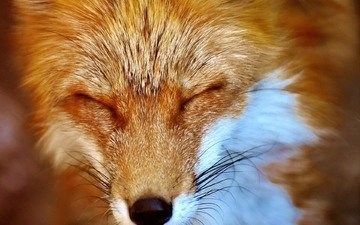 muzzle, sleep, fox, closed eyes
