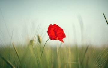flower, field, red, mac, ears, wheat