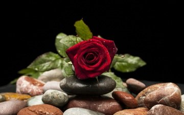 stones, flower, drops, rose, petals, bud