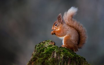 nature, moss, protein, tail, stump, squirrel