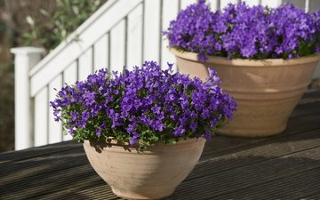 flowers, pots, purple, bells