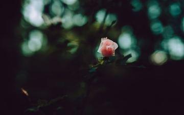 rose, petals, pink
