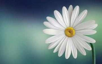 макро, цветок, лепестки, стебель, белая, маргаритка