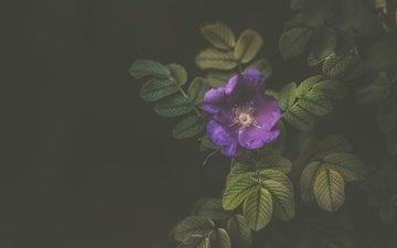 цветок, лепестки, фиолетовый, куст