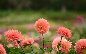 flowers, flowering, petals, color, dahlias
