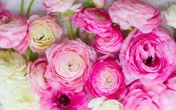 розовые цветы, белая, красива, цветы, ранункулюс, лютики, пинк