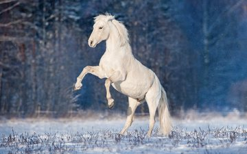 horse, winter, mane, stallion