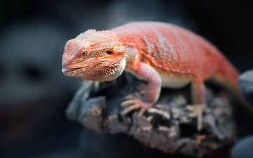 lizard, stone, orange, bearded agama, reptile, agama