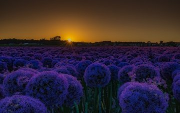 flowers, sunset, field, bow, decorative bow, allium