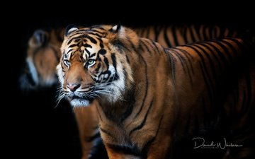 tiger, face, background, mustache, look, predator, profile, black background, beast, david whelan