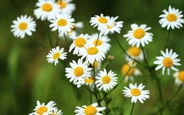 flowers, greens, summer, petals, chamomile, white