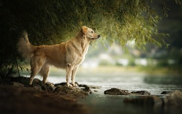 river, stones, dog, for, golden retriever, amara