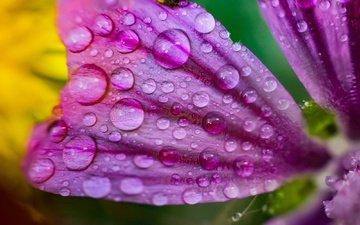 макро, цветок, роса, капли, лепесток