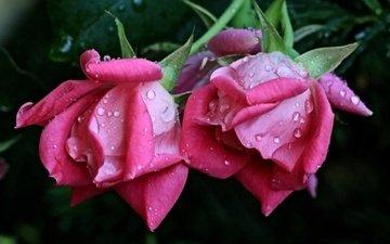 flowers, buds, macro, rosa, drops, roses, petals