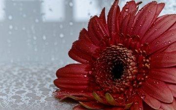 flower, drops, petals, gerbera