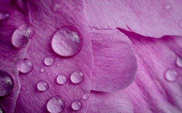 макро, цветок, капли, лепестки, пион
