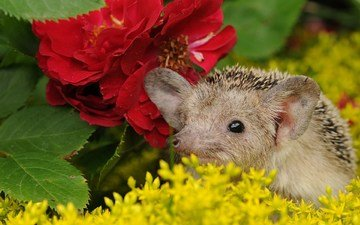 flowers, muzzle, ears, hedgehog, spout