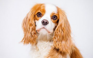 eyes, muzzle, look, cocker spaniel, dog, puppy, spaniel