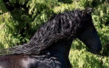 horse, greens, profile, mane, frieze, crow