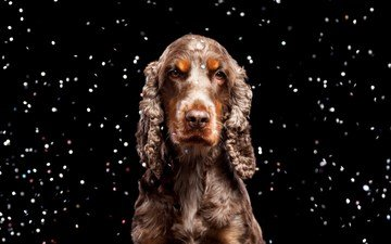 look, dog, black background, spaniel, cocker spaniel