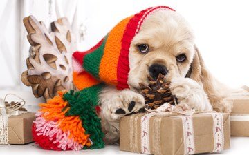 muzzle, look, gifts, dog, puppy, hat, bump, cocker spaniel