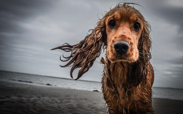 sadness, look, dog, wet, cocker spaniel