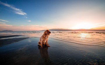 sunset, sea, beach, dog, twilight, cocker spaniel, shore.