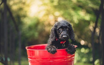 muzzle, look, dog, puppy, collar, bucket, newfoundland