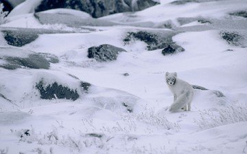 snow, nature, stones, plants, winter, landscape, animals, frost, canada, fox, polar fox, arctic fox
