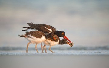 animals, beach, food, birds, beak, oystercatcher, waterfowl